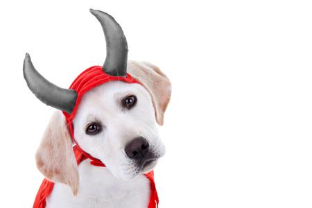 perros vestidos: De Halloween Labrador cachorro de perro en traje de diablo
