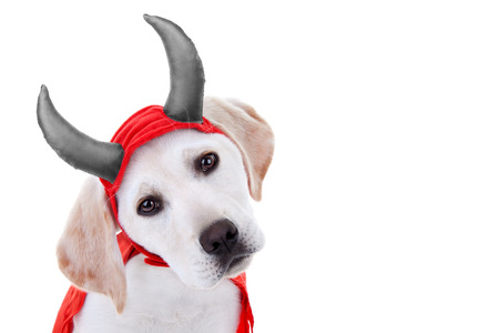 Halloween Labrador puppy dog in devil costume