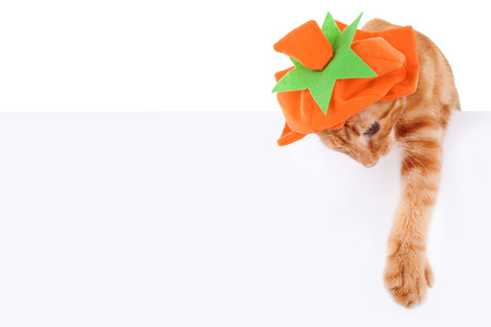 holiday pets: Halloween or Thanksgiving pumpkin cat sign or banner