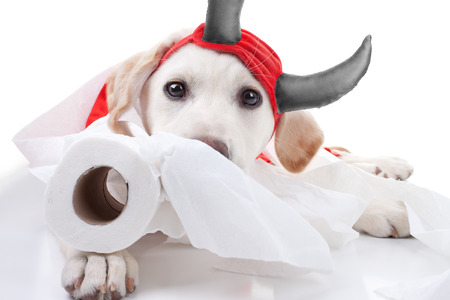 Funny guilty Labrador puppy dog in halloween devil costume with toilet paper