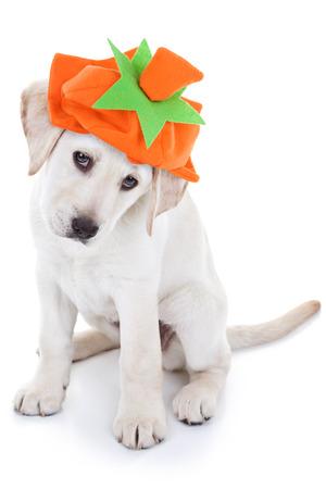 perros vestidos: Halloween o Thanksgiving perro cachorro calabaza Foto de archivo