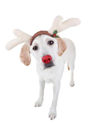labrador christmas: Christmas rudolph red nosed Labrador reindeer dog