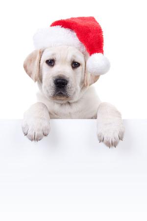labrador christmas: Christmas Labrador puppy dog in santa hat holding white sign or banner