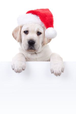 Christmas Labrador puppy dog in santa hat holding white sign or banner