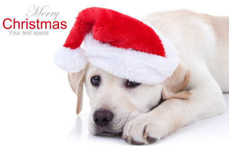 Christmas Labrador puppy dog in Santa hat Stock Photo