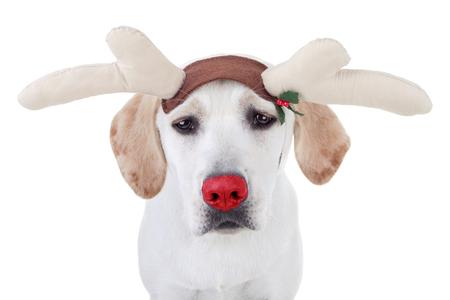 rudolph the red nosed reindeer: Christmas rudolph Labrador reindeer dog