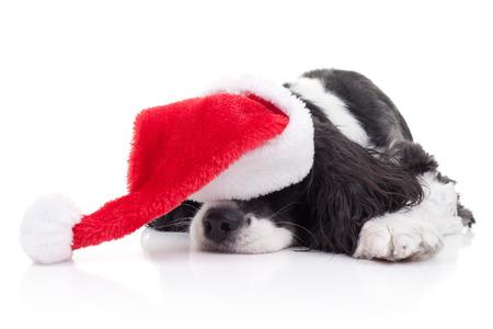 Spaniel dog in Santa hat dreams of Christmas Stock Photo