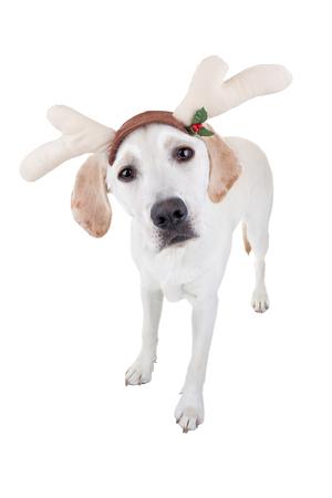 Christmas Labrador reindeer dog 版權商用圖片