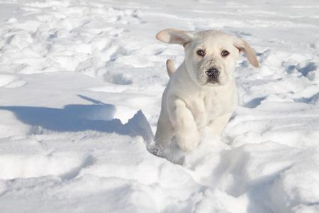 dog running: Invierno Labrador retriever cachorro de perro corriendo en la nieve Foto de archivo