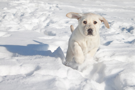 Winter Labrador retriever puppy dog running in snow