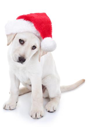 Christmas Santa Labrador puppy dog photo