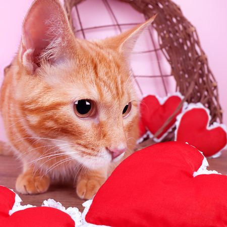 Valentine cat with red hearts photo