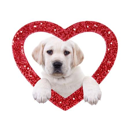 Valentine Day Labrador puppy dog and heart Archivio Fotografico