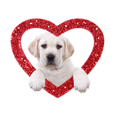 Valentine Day Labrador puppy dog and heart Stock Photo