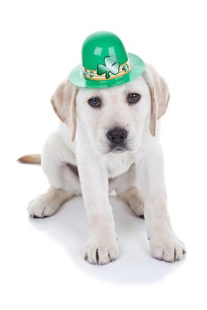 perros vestidos: St Patrick s Day Labrador cachorro de perro Foto de archivo