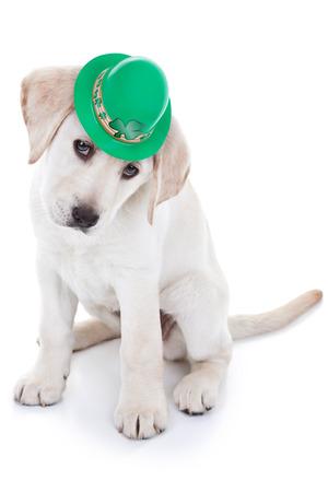 dog days: Lucky St Patricks Day Labrador cachorro de perro Foto de archivo