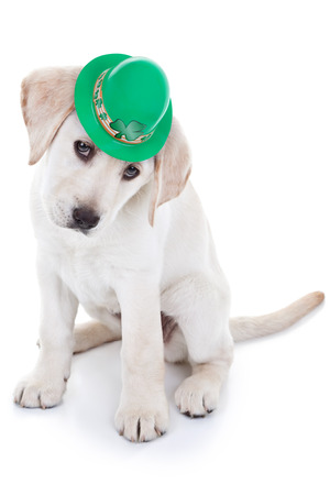 Lucky St Patricks Day Labrador puppy dog