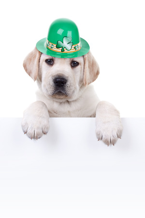 st patrick s day: St Patricks Day Labrador puppy dog and sign or banner Stock Photo