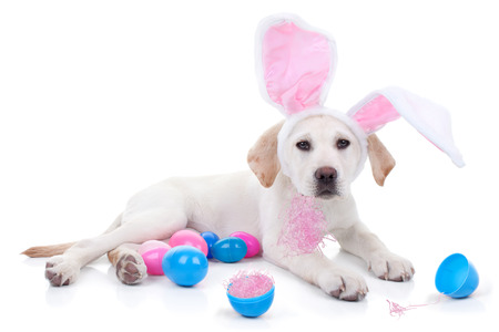 Easter bunny Labrador puppy dog and Easter eggs
