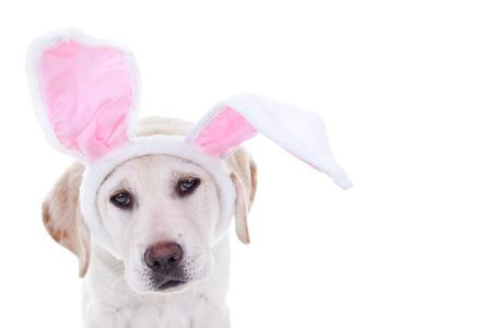 Pasen labrador puppy hond gekleed in bunny oren Stockfoto