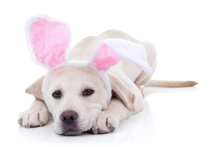 Easter bunny Labrador puppy dog in bunny ears on white