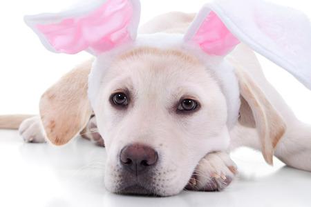 perros vestidos: Pascua conejito Labrador cachorro de perro en los oídos de cerca