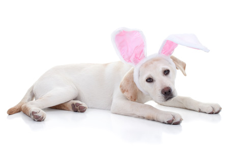 yellow lab: Easter bunny Labrador puppy dog in bunny ears isolated Stock Photo