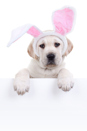 Easter bunny puppy dog in ears holding sign or banner