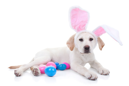 egg hunt: Easter bunny Labrador puppy dog with Easter eggs