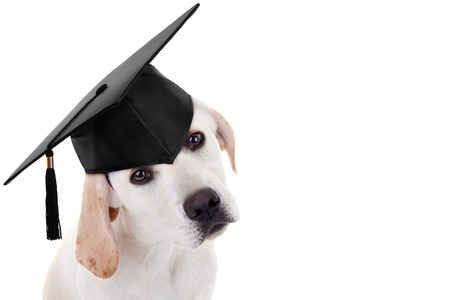 white dog: Graduation graduate puppy dog Stock Photo