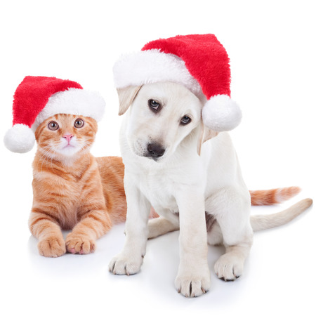 holiday pets: Cute Christmas pet Labrador dog and cat on white