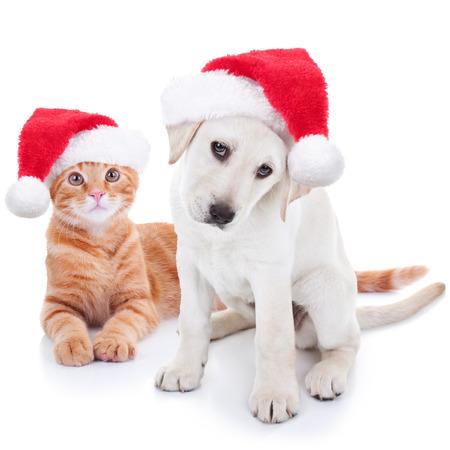 perrito: Perro lindo del labrador mascota Navidad y gato en blanco