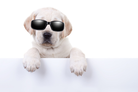 Cool party star dog or summer holiday puppy dog in sunglasses over sign