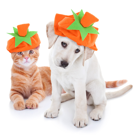 Thanksgiving Halloween Pumpkin Costume Pets Dog and Cat Stock Photo