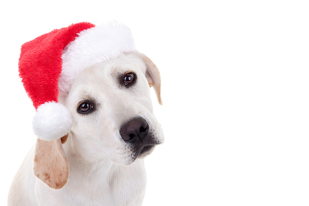 Christmas pet animal Labrador puppy dog dressed up and wearing Xmas Santa hat with white space
