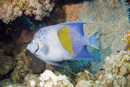 pomacanthus: Red Sea Angelfish (Pomacanthus maculosus) Stock Photo