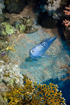 pomacanthus: Angelfish (Pomacanthus maculosus)