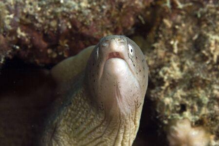 coralgrouper: grey moray (siderea grisea)