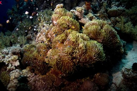 coralgrouper: bubble anemone and anemonefish