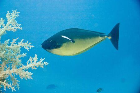 naso: bluespine unicornfish (naso unicornis)