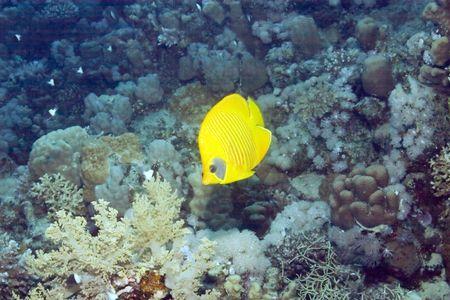 butterflyfish: masked butterflyfish  (chaetodon semilarvatus) Stock Photo