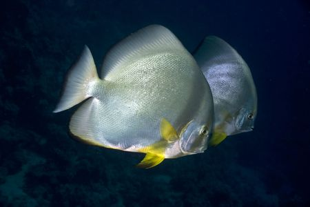 orbicular spadefish (platax orbicularis) Stock Photo - 4222510