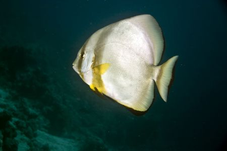 platax: orbicular spadefish (platax orbicularis) Stock Photo