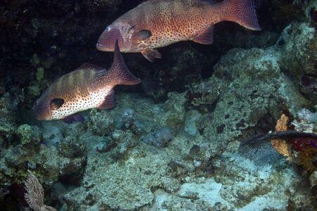 coralgrouper: coralgrouper (Plectropomus pessuliferus) Stock Photo