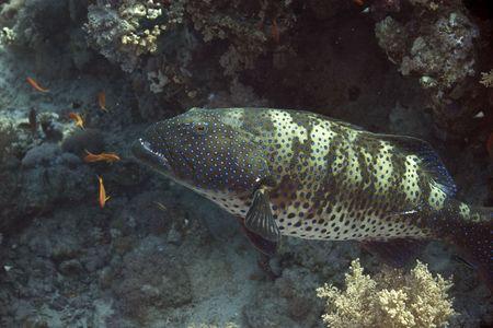 cheilinus: coralgrouper (Plectropomus pessuliferus) Stock Photo