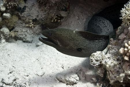 cheilinus undulatus:  giant moray (gymnothorax javanicus) Stock Photo