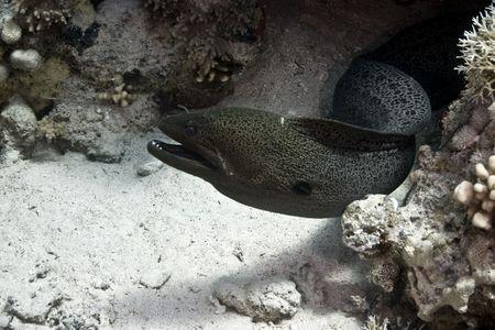 cheilinus:  giant moray (gymnothorax javanicus) Stock Photo