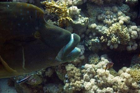 napoleon fish: Napoleon wrasse (cheilinus undulatus)