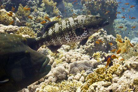 napoleon fish: napoleonfish and coralgrouper
