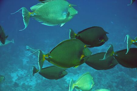 bluespine unicornfish naso unicornis) Stock Photo - 4223332